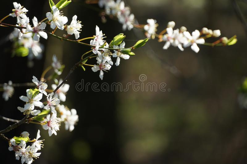 Cherry flowers in blossom, blossoming cherry tree, white royalty free stock image