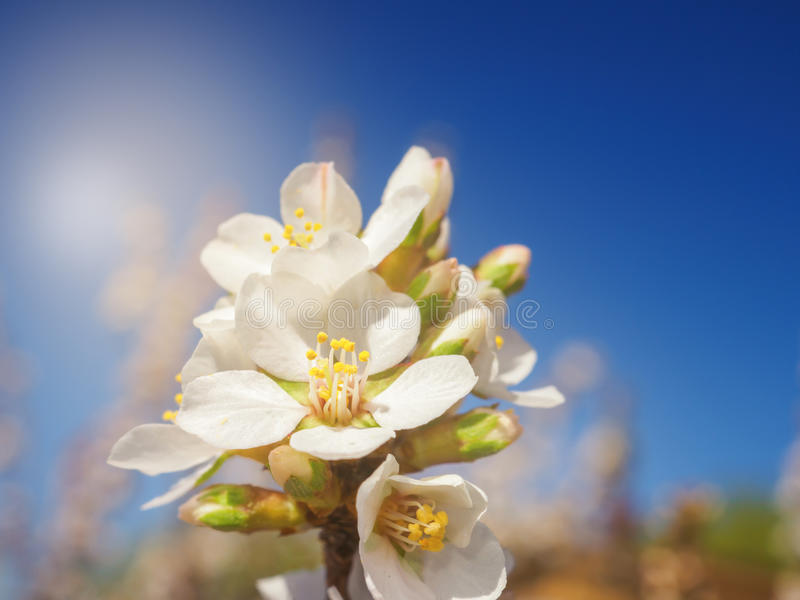 Cherry flowers blossom oriental white against background blue sky with sunshine beams macro shot. Cherry flowers blossom oriental white against background blue stock image