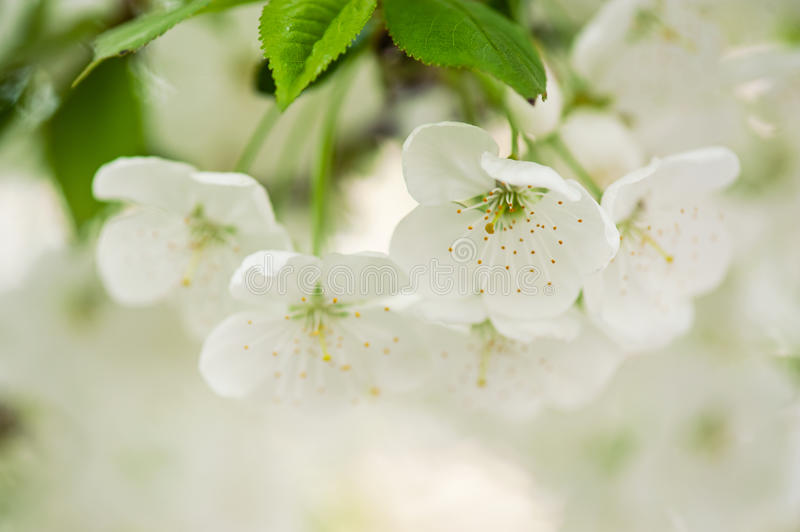 Cherry flowers. Blossoming of cherry flowers in spring time with green leaves, macro stock photo