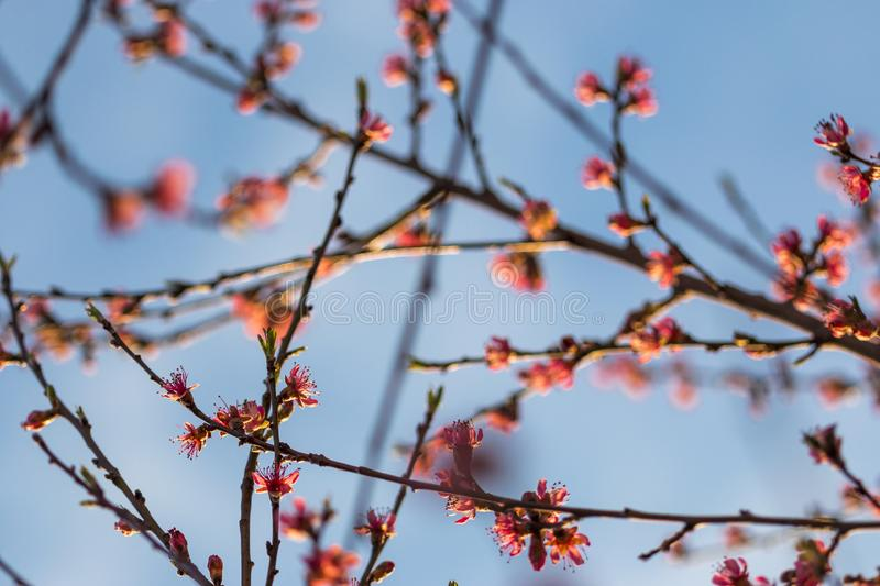 Cherry flowers in a blue sky stock photography
