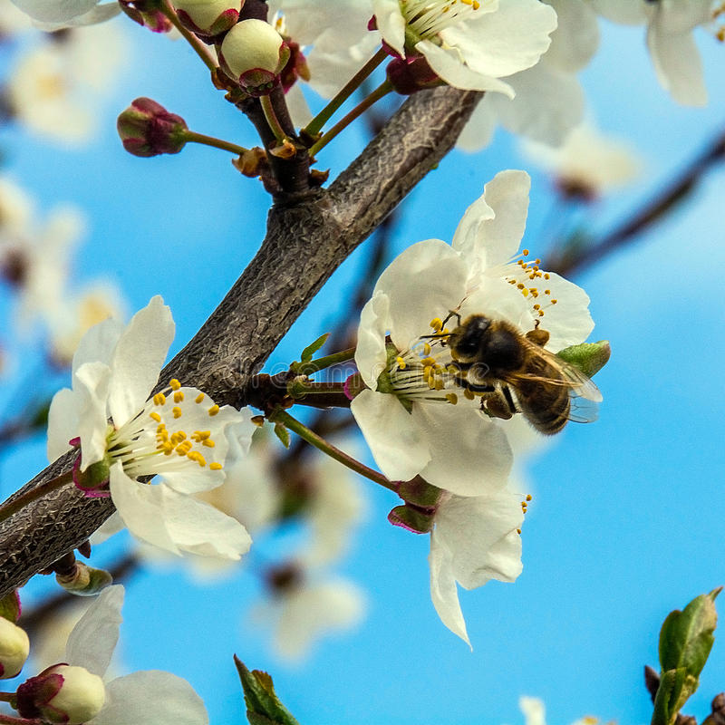 Cherry flowers stock image