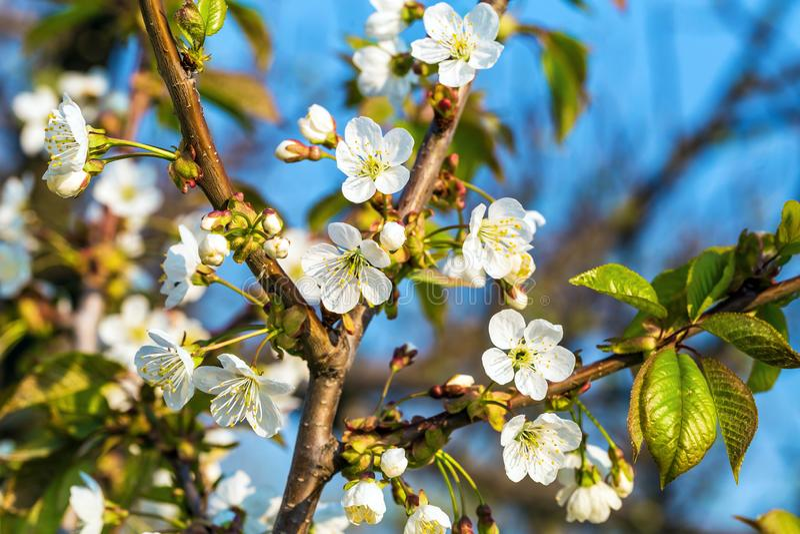 Cherry flowers closeup royalty free stock image