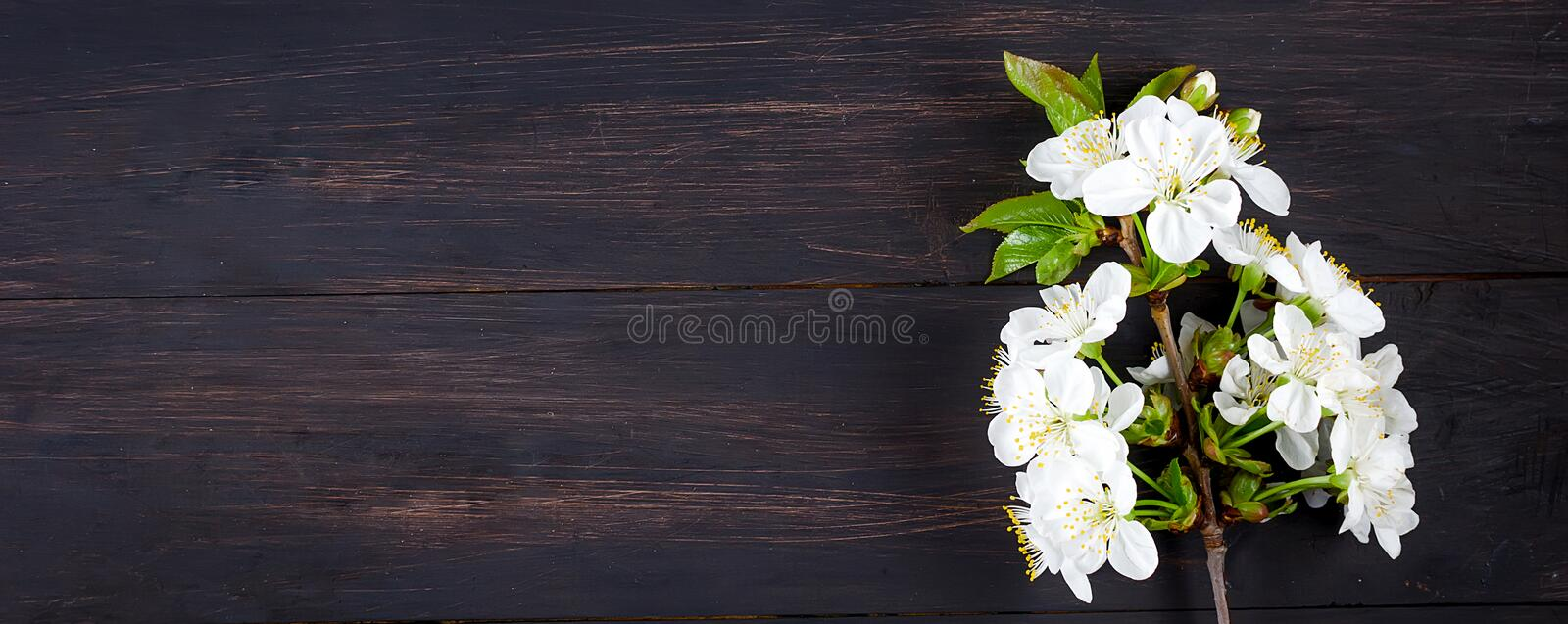 cherry flowers on dark wooden background royalty free stock photo