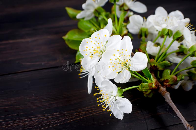 cherry flowers on dark wooden background stock photo