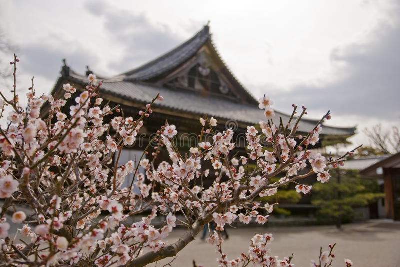 Cherry flowers in front of temple. A branch of cherry flowers in front of a temple in Kyoto royalty free stock photo