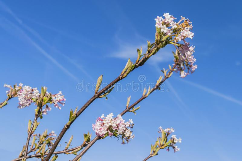 Flowering sakura branch against the blue sky royalty free stock photos