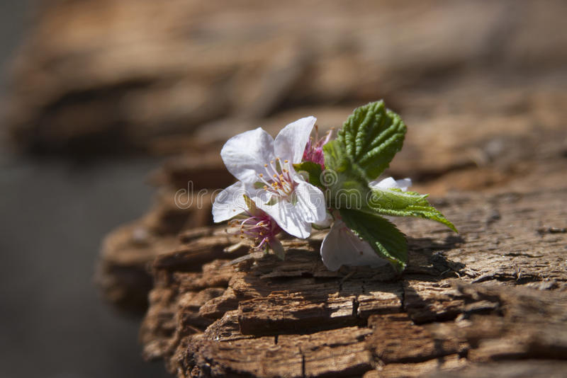 Cherry flowers on old wood surface under the bright sun stock photos