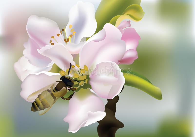 Cherry flowers Realistic Vector illustration with bee collecting pollen. Beautiful Spring floral Background. Cherry flowers Realistic Vector illustration with stock illustration
