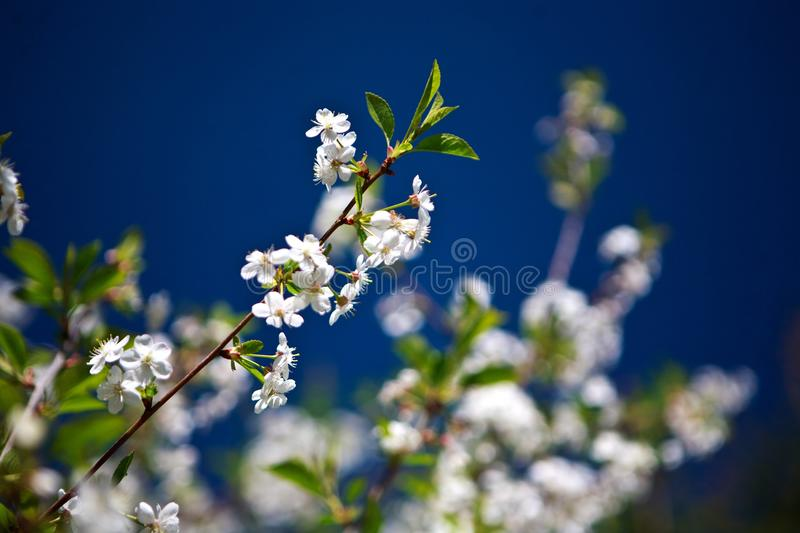 Cherry flowers. Sprimg background sky stock image