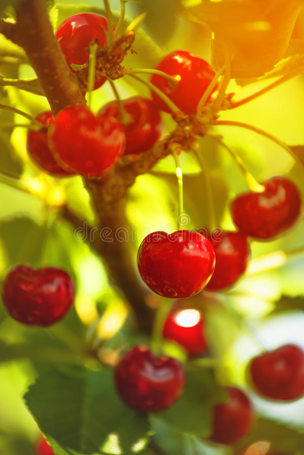 Download Cherry Fruit Dolce Sul Bracnh Fotografia Stock - Immagine di alimento, sano: 55363666