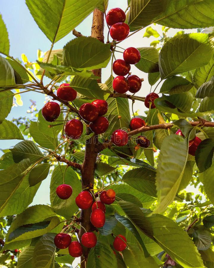Shiny red cherries hang from a tree in the midday sun. A cherry is the fruit of many plants of the genus Prunus, and is a fleshy drupe. The cherry fruits of royalty free stock photo