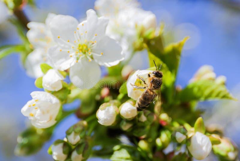 Cherry tree Cerasus stock image