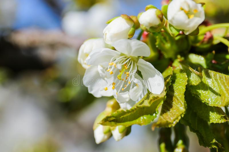 Cherry tree Cerasus royalty free stock images