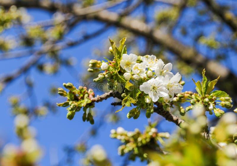 Cherry tree Cerasus royalty free stock photo