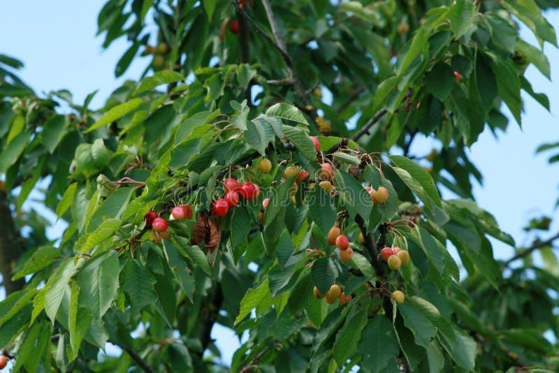 Cherry fruit tree. Against a blue sky stock photos