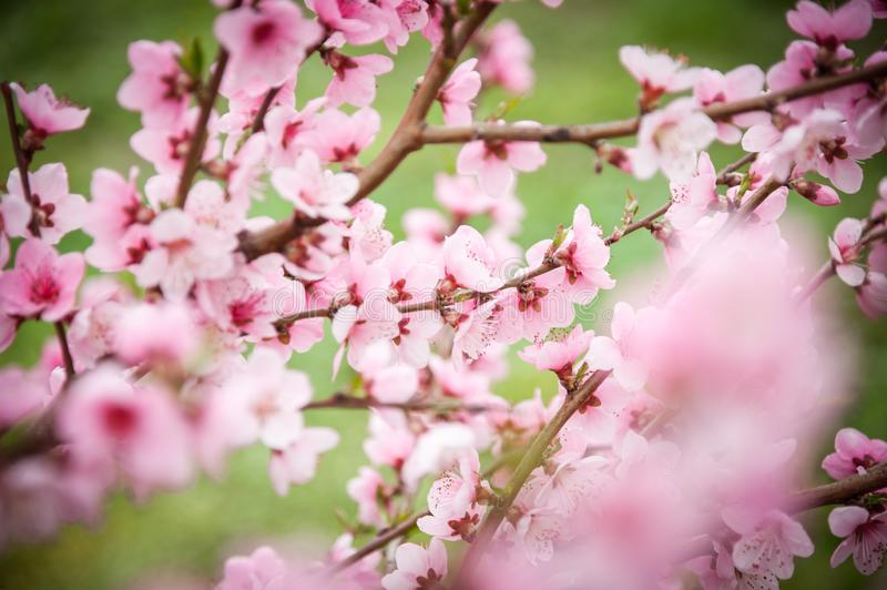 Cherry in full bloom. Cherry flowers in small clusters on a branch of a cherry tree, white. stock photo