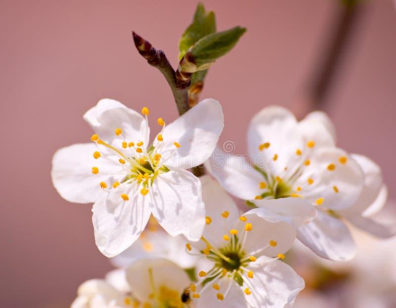 cherry gałęziasta obraz stock