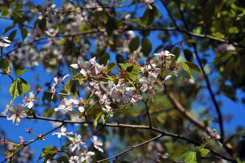 Cherry garden in Moscow, Russia. Birulevsky arboretum, Japanese garden. stock photography