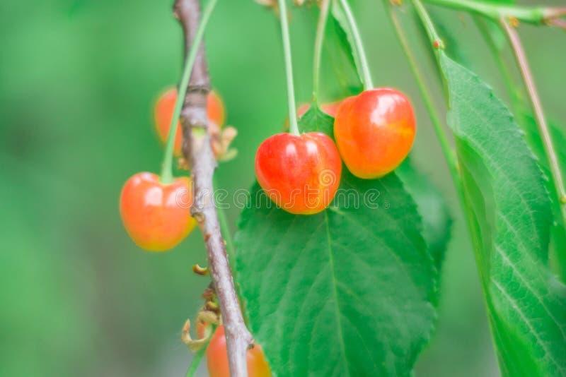 Cherries in the garden stock photos