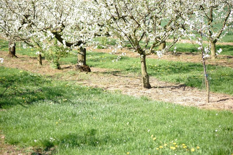 Cherry grove in bloom. A cherry grove or a cherry tree plantation with pruned cherry trees in spring in bloom royalty free stock photo