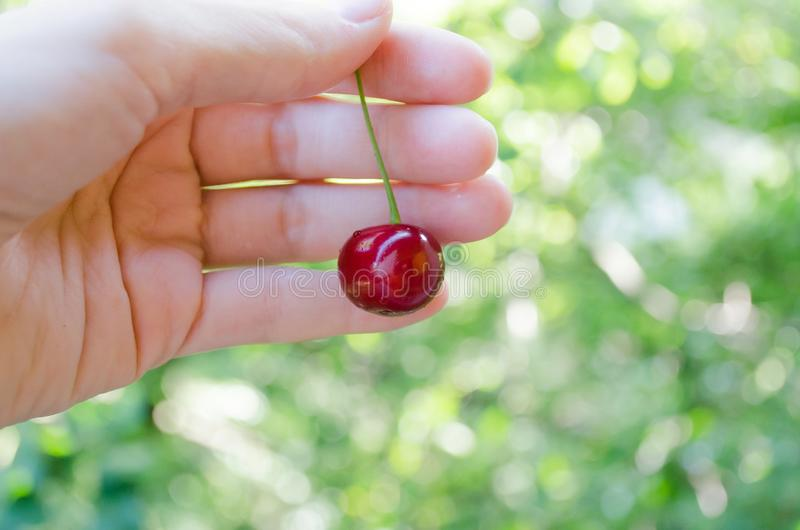 Cherry on the hand. Hold the fruit in hand. Cherry on the palm. Ripe red cherry. Juicy summer cherry. Natural product. proper nutrition. Berry. Drupe. Sweet stock image