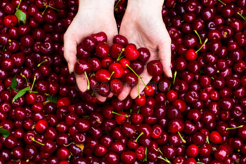 Cherry in hands. Red ripe fresh cherry in hands