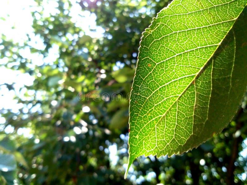 Cherry leaf stock photo