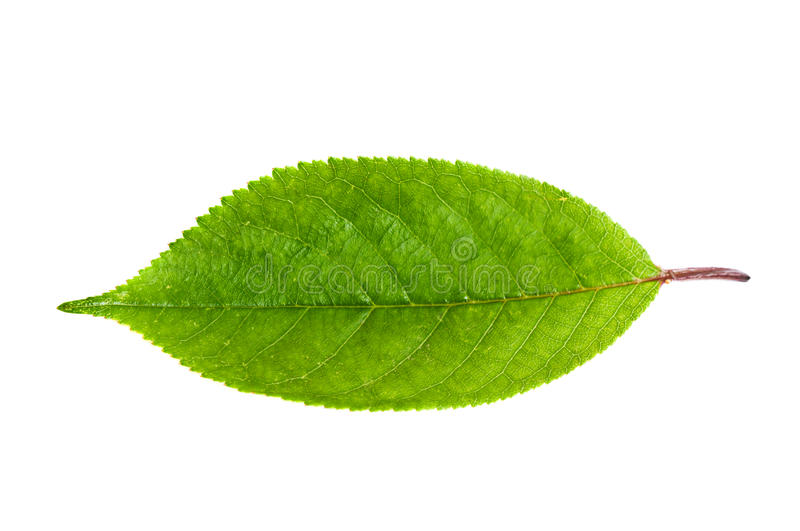 Cherry leaf royalty free stock photography