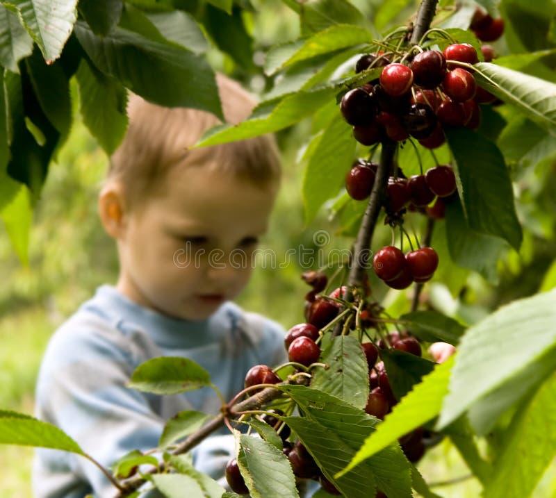 cherry ogród zdjęcie stock