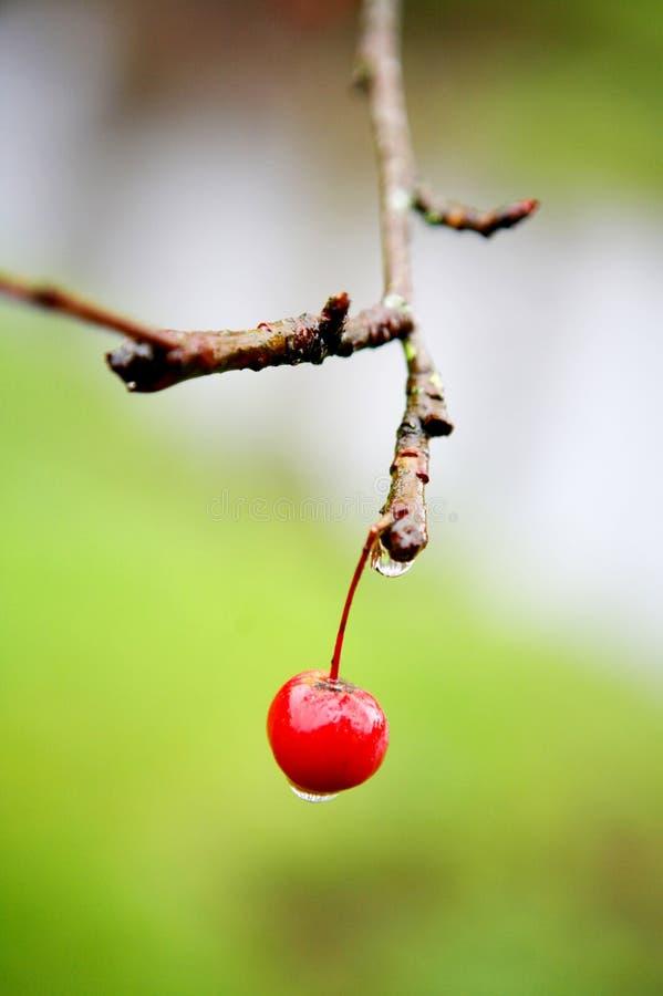 Free Cherry On Tree Stock Photography - 4197072