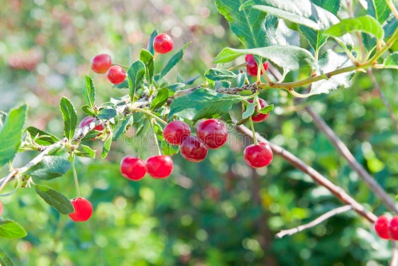 Cherry Orchard foto de stock royalty free