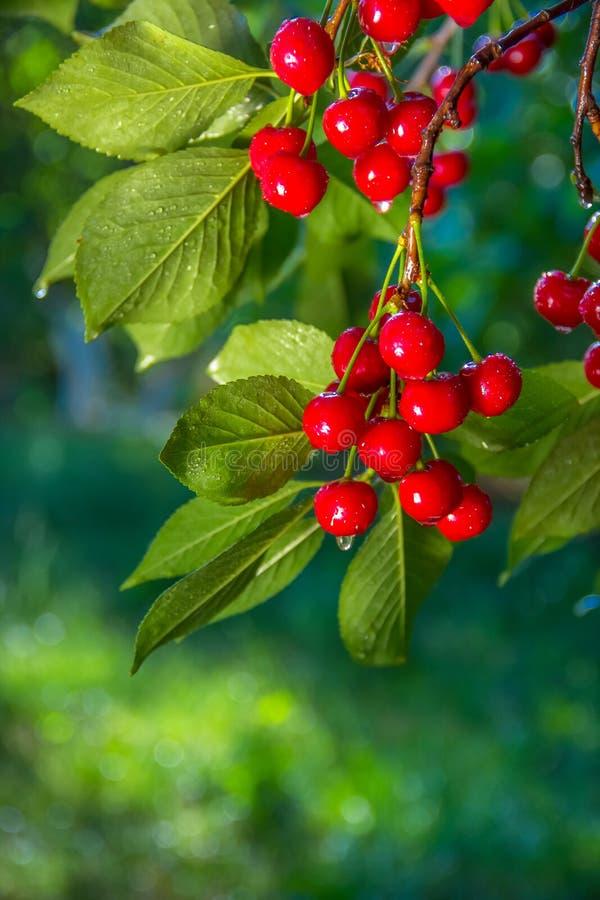 Cherry Orchard Filialer med körsbär Organisk körsbär i trädgården royaltyfri fotografi