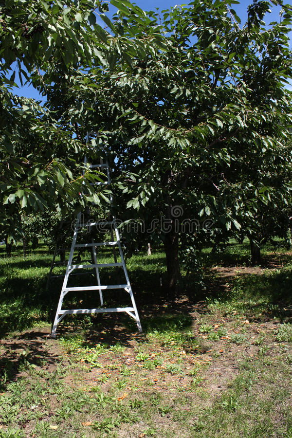 Download Cherry orchard ladder stock image. Image of orchards - 10720735