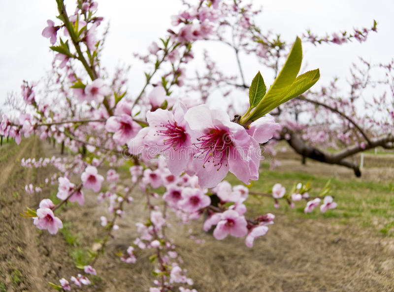 Download Cherry Orchards In The Spring Stock Photo - Image: 14002754