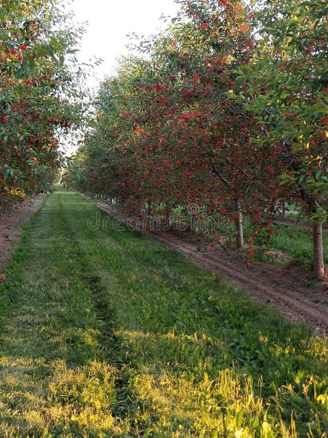 Cherry Orchards. Summer growth harvest royalty free stock photo
