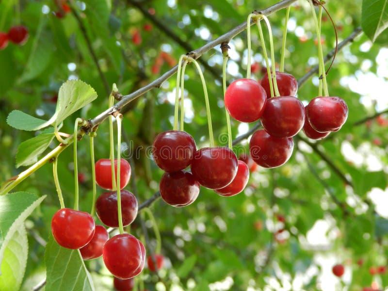Cherry på filialen royaltyfri bild