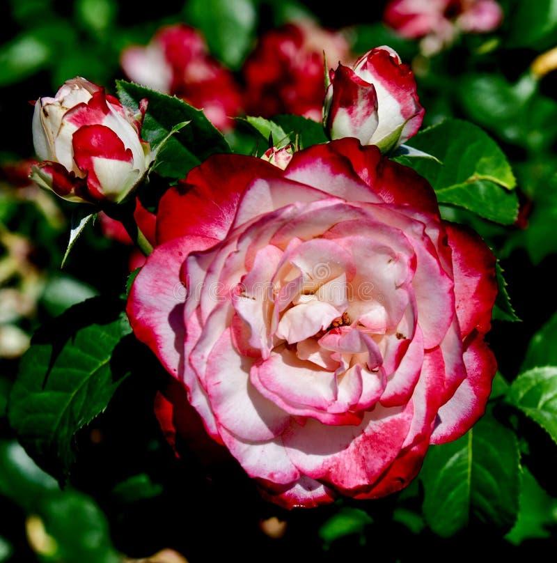 Cherry Parfait #2 royaltyfri bild