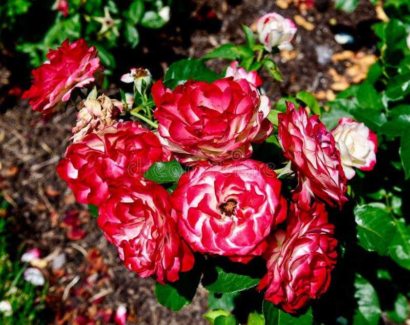 Cherry Parfait #3 royaltyfri fotografi