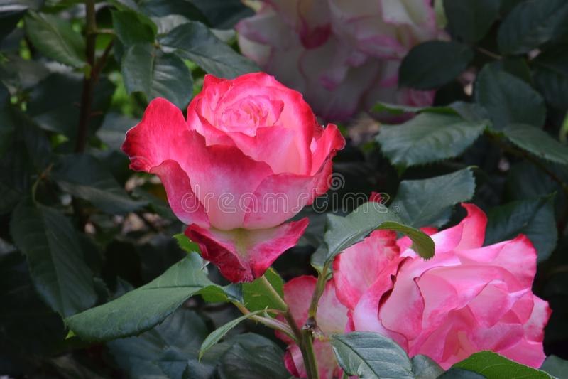 Cherry Parfait Rose Flower Bud crémeux photographie stock libre de droits