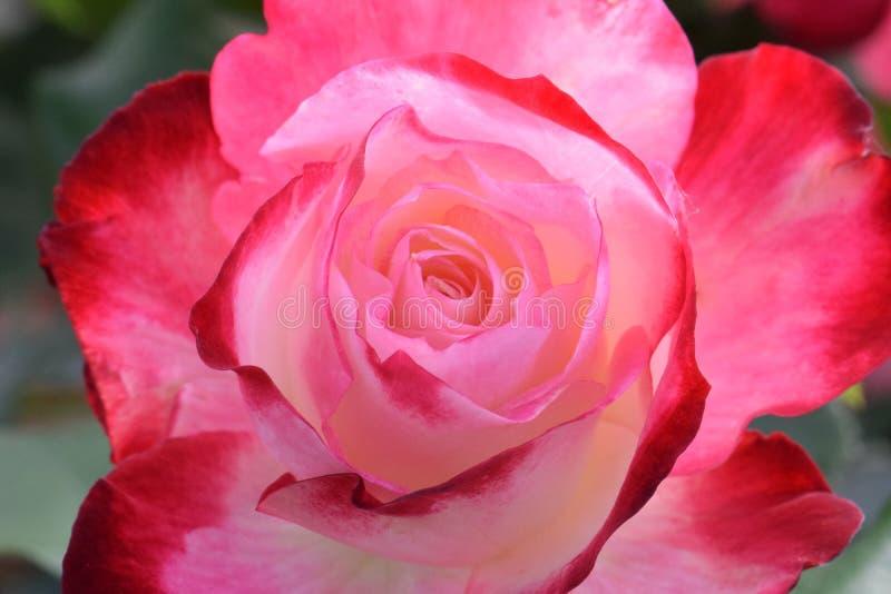 Cherry Parfait Rose Macro rouge et blanc crémeux photographie stock libre de droits