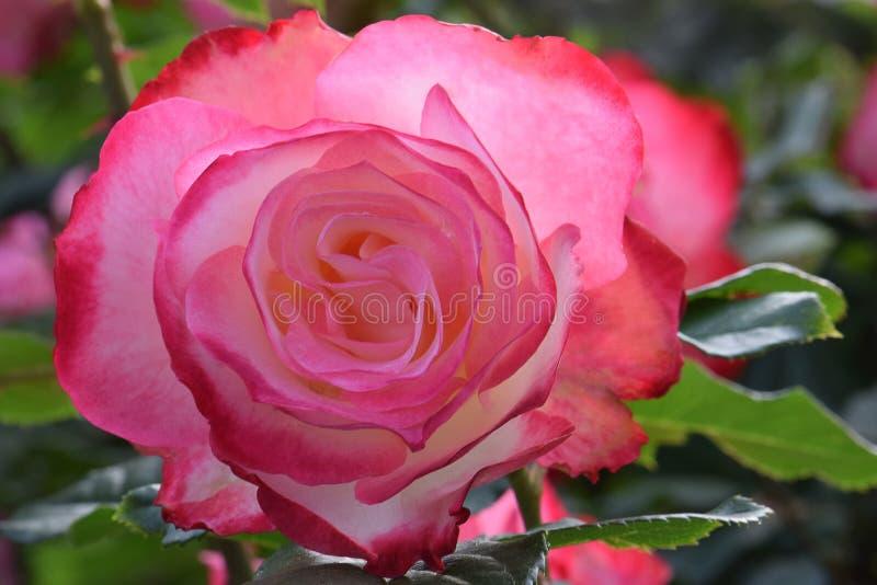 Cherry Parfait Rose 01 arkivfoton