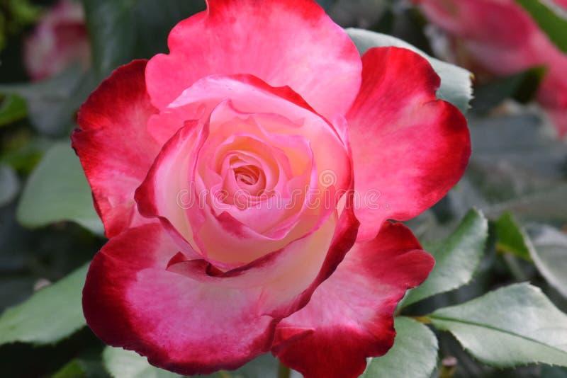 Cherry Parfait Rose rouge et blanc crémeux 03 photographie stock