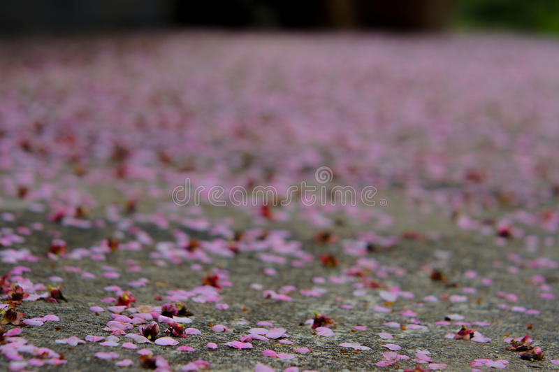 Cherry Petals Falling To The-Grond stock afbeelding