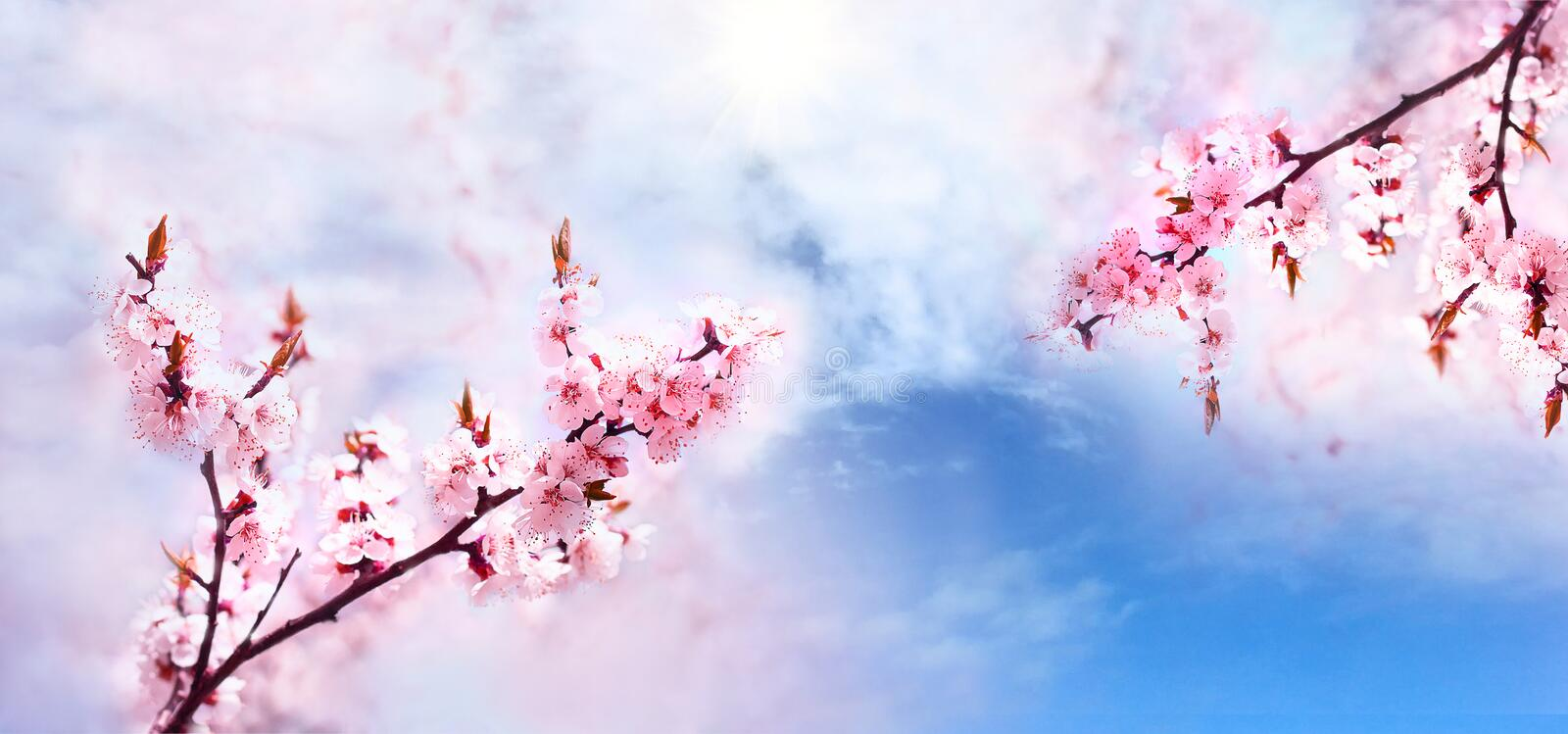 Cherry pink blossoms branch close up. Blooming cherry tree royalty free stock photography