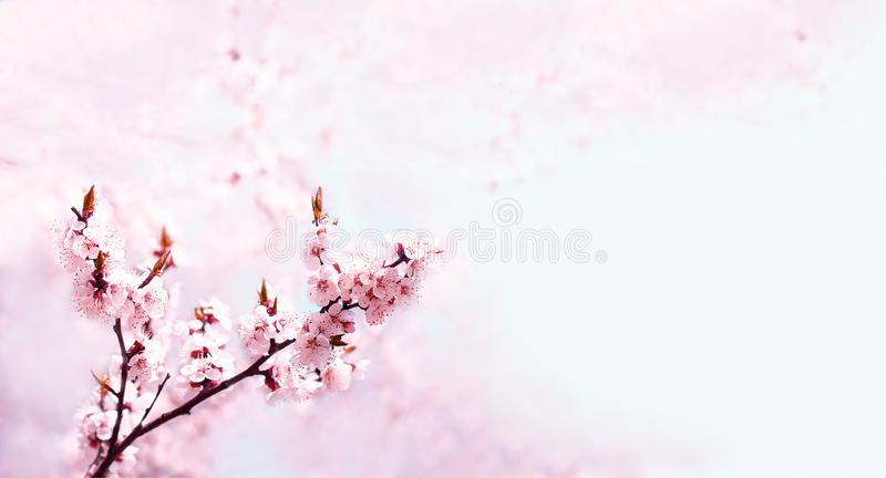 Cherry pink blossoms close up. Blooming cherry tree. Spring floral background. Copy space,Wide format royalty free stock photos