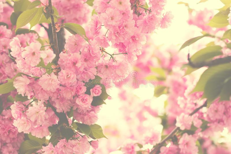 Cherry pink blossoms close up; blooming pink cherry tree with sunshine coming through branches; Spring floral background stock images