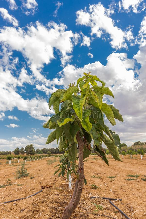Cherry plantation small treesPrunus avium `Ruby` royalty free stock photo