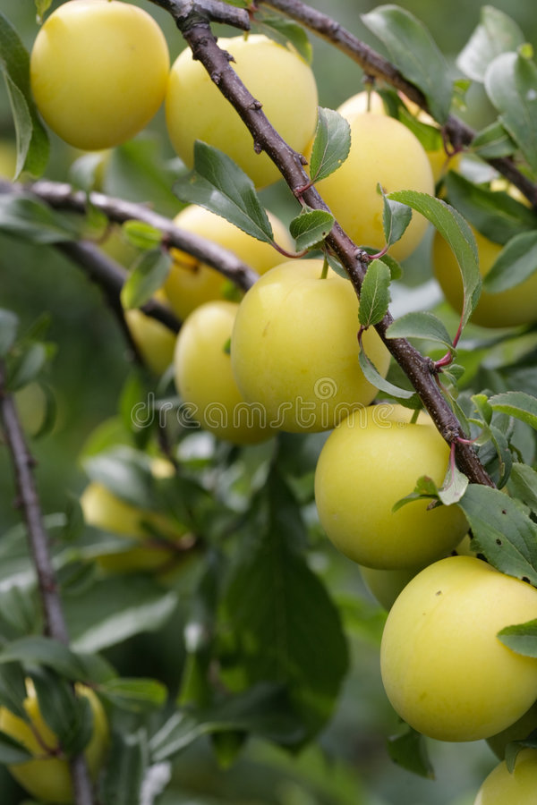 Download Cherry plum stock image. Image of cherry, flower, plums - 5816105