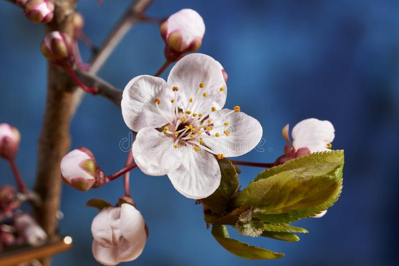 Cherry plum blossom. A close up of a cherry plum (Prunus cerasifera) blossom in the tree royalty free stock images