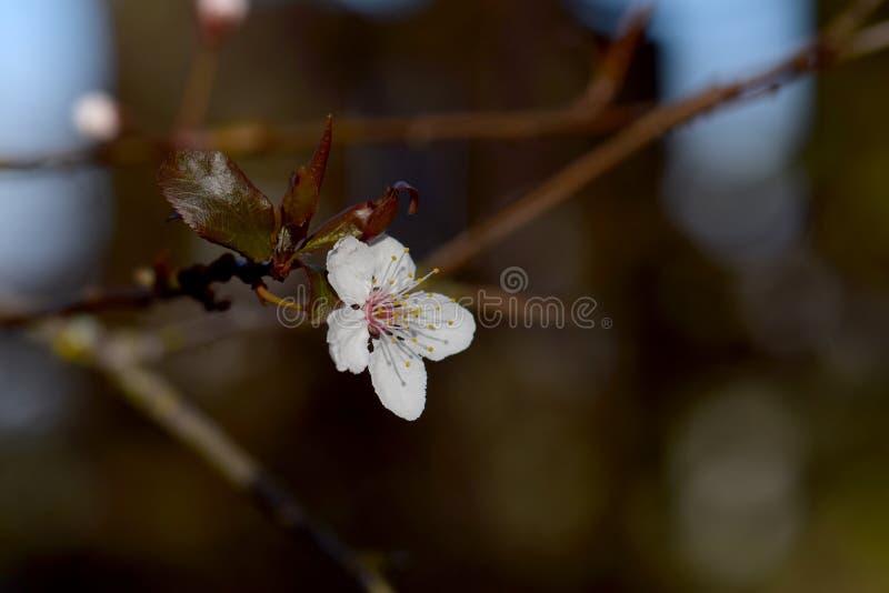 Cherry Plum Blossom White photo libre de droits